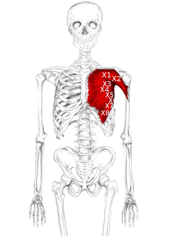 Músculo pectoral mayor: Dolores y puntos gatillo